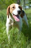 Russian piebald hound (Gontchaja russkaja pegaja) Royalty Free Stock Image