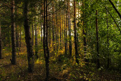 Russian pine forest by the lake. Royalty Free Stock Photo
