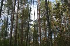 Russian Pine forest. Pustoshkinsky p-HN obl.n Pskov Russia Stock Image