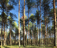 Russian pinewood green deep forest Stock Image