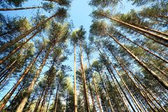 Russian pinewood green deep forest Stock Images