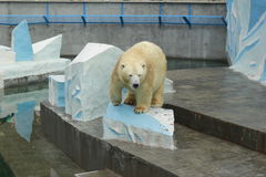 Russian Polar bear in a Novosibirsk zoo. Russian Polar bear. Novosibirsk zoo Stock Images