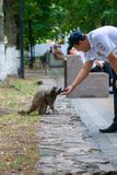 Russian policemen feeding raccoon in the park royalty free stock photography