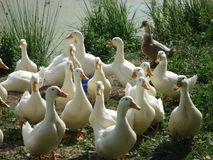 Russian pond with its inhabitants of their white domestic ducks are bred for food and growth Royalty Free Stock Photo