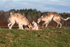 Russian psovy borzoi Stock Images