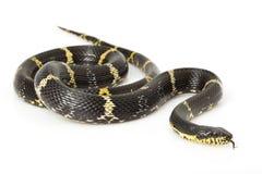 Russian Rat Snake. (Elaphe schrenkii) on white background Stock Photography