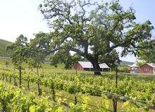 Russian River Vineyards Royalty Free Stock Photo