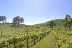 Russian River Vineyards Stock Photography