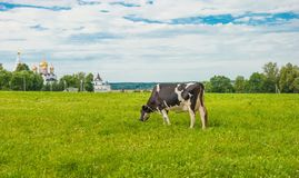 Russian rural landscape. With monastery and cow in a meadow Royalty Free Stock Image
