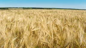 Russian Rye Field Royalty Free Stock Photos