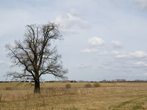 Russian savanna. A lonely tree on the meadow Stock Images