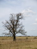 Russian savanna 2. A lonely tree on the meadow Royalty Free Stock Image