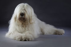 Russian sheepdog portrait. Russian sheepdog lying down in studio Royalty Free Stock Photography