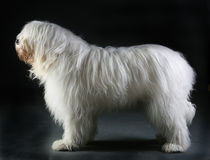 Russian sheepdog portrait. Whitebig dog south russian ovcharka sheepdog Stock Photography