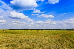 Russian sky and a field with mown hay, harvested in the swaths on a clear summer day in August. Moscow region.  royalty free stock photos