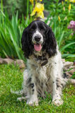 Russian Spaniel Royalty Free Stock Image