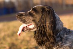 Russian spaniel at the evening sun closeup on the  Stock Photography