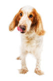 Russian Spaniel licking nose Stock Photography