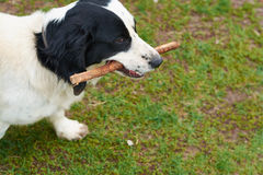 Russian Spaniel playing with stick Stock Image