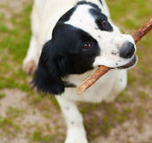 Russian Spaniel playing with stick Royalty Free Stock Images