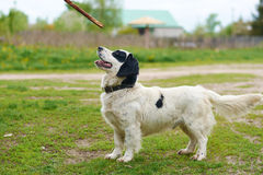 Russian Spaniel playing with stick Royalty Free Stock Photo