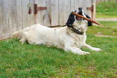 Russian Spaniel playing with stick Royalty Free Stock Image