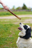 Russian Spaniel playing with stick Stock Photos