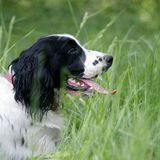 Russian spaniel portrait Royalty Free Stock Images