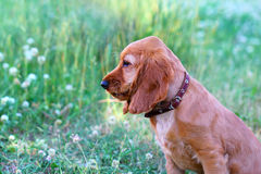 Russian Spaniel Puppy Royalty Free Stock Images