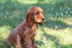 Russian spaniel puppy Royalty Free Stock Photos