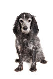 Russian spaniel on white background Royalty Free Stock Photography