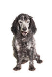 Russian spaniel on white background Stock Images