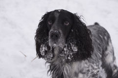 Russian Spaniel. On a winter walk royalty free stock images