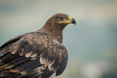 Russian steppe eagle Royalty Free Stock Image