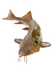 Russian sturgeon Stock Images