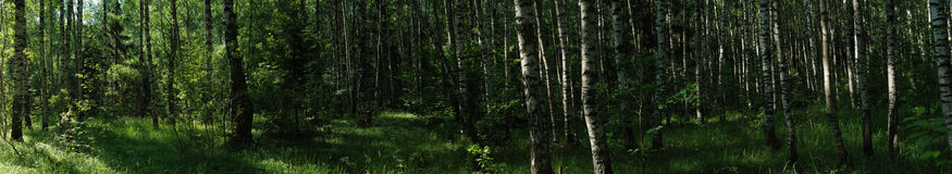 Russian summer forest panorama Stock Photography