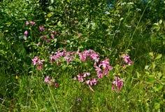 Russian  summer meadow Stock Photo