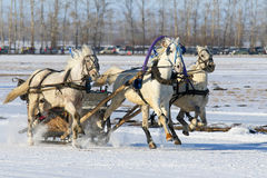The Russian three of horses rushes on snow. BELOKURIKHA, RUSSIA - MARCH 12, 2016: The Russian three of horses during the holiday Farewell to winter Royalty Free Stock Image