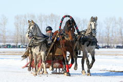 Russian three of the Oryol trotters. BELOKURIKHA, RUSSIA - MARCH 12, 2016: The Russian three of horses during the holiday Farewell to winter Royalty Free Stock Photo