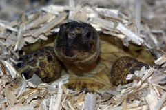 Russian Tortoise 02 Royalty Free Stock Photo