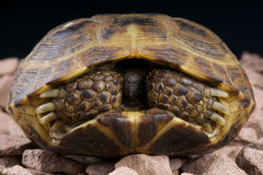 Russian tortoise. The Russian Tortoise,four toed tortoise, Horsfield's Tortoise or Central Asian Tortoise ,Testudo horsfieldii, is a species of tortoise that is Royalty Free Stock Photography