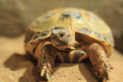 Russian tortoise Royalty Free Stock Images