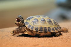 Russian tortoise. The russian tortoise on the soil stock images