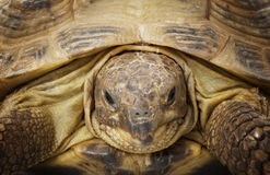 Russian Tortoise Royalty Free Stock Photo