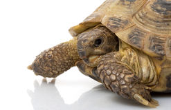 Russian Tortoise Royalty Free Stock Image