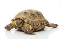 Russian Tortoise. (Testudo horsfieldii) isolated on white background Stock Image