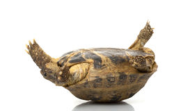 Russian Tortoise. (Testudo horsfieldii) isolated on white background Stock Photos