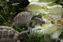 Russian tortoise (Agrionemys horsfieldii). Stock Image