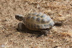 Russian tortoise (Agrionemys horsfieldii). Stock Photos