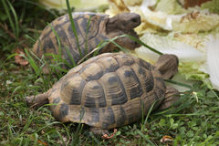 Russian tortoise (Agrionemys horsfieldii). Stock Photography